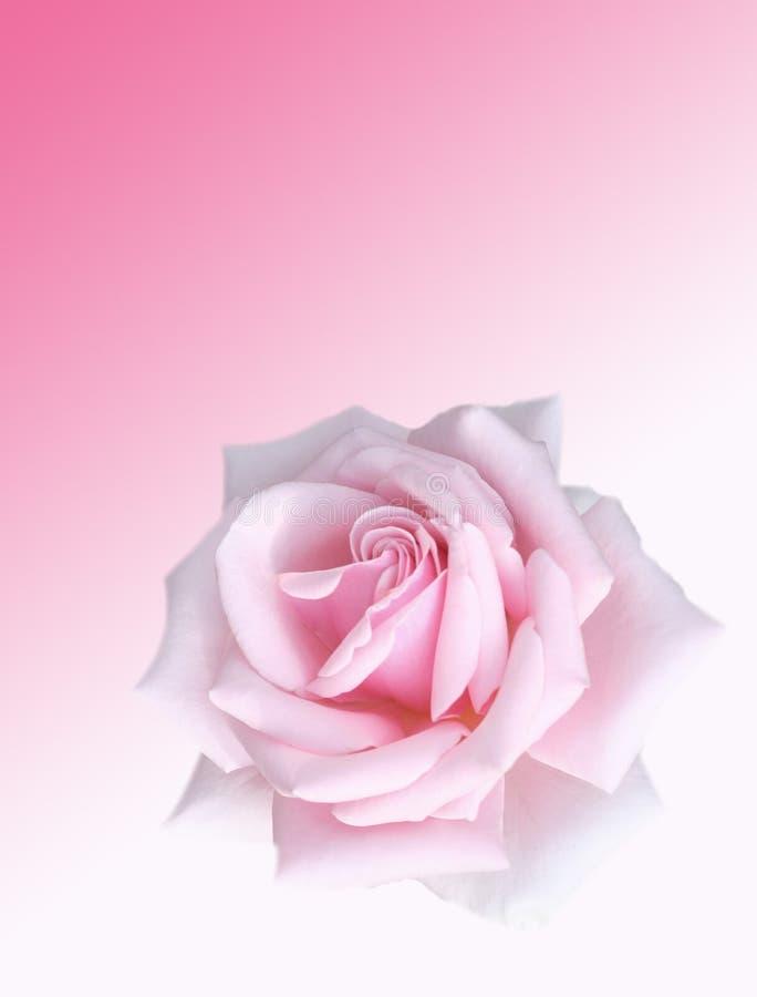 Pink rose vector illustration