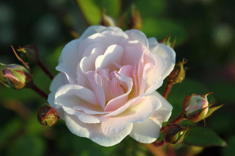 Download Pink rose stock photo. Image of bridal, elegant, detail - 14076152