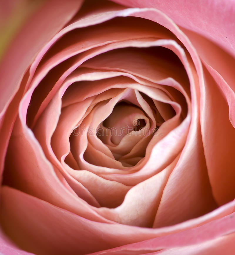 Pink rose. Macro of a pink rose royalty free stock photos