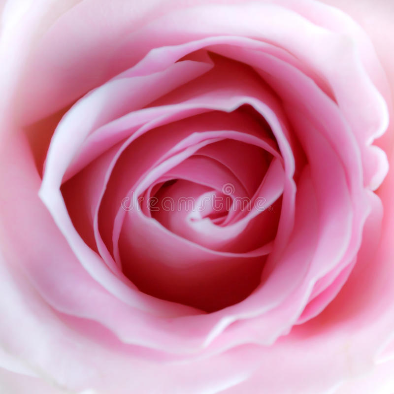 Pink Rose. Close up of a beautiful pink rose with soft focus