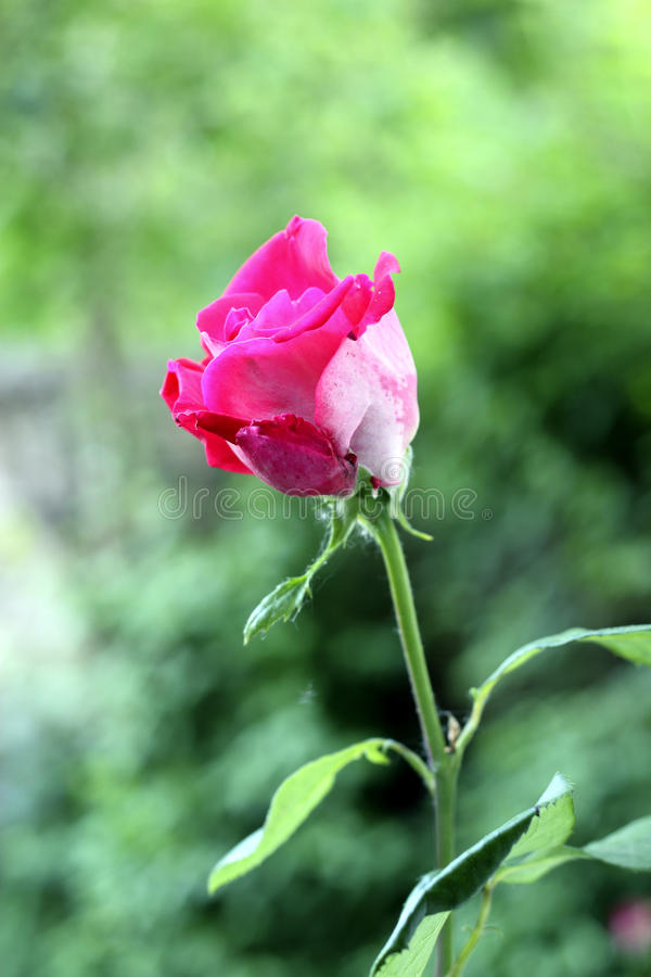 Free Pink Rose Stock Photography - 19820662