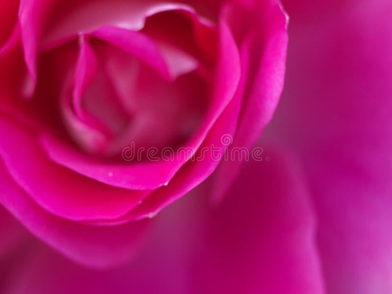Download Pink Rose stock image. Image of flower, pink, upward - 20042953