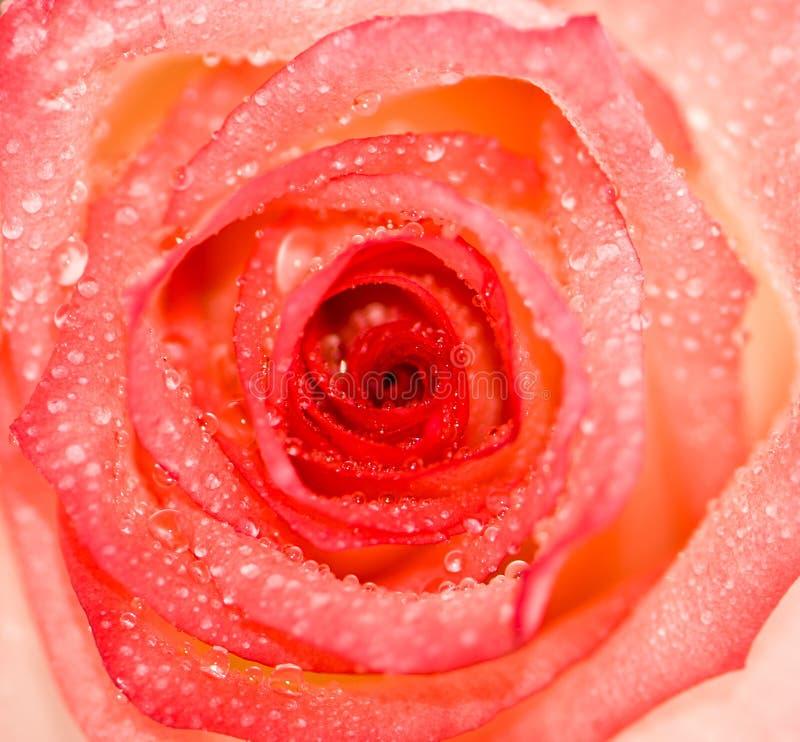 Download Pink rose stock photo. Image of background, closeup, design - 25818294