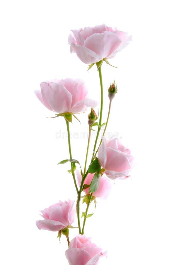 Download Pink rose stock image. Image of flower, bloom, pink, flora - 25933609