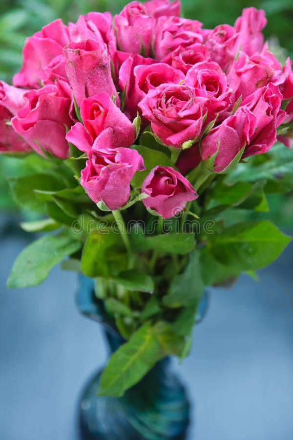 Download Pink rose stock photo. Image of blossom, closeup, blooms - 26616706