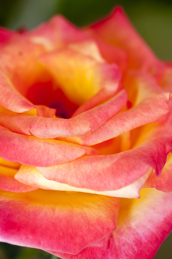Download Pink rose stock photo. Image of beauty, elegance, background - 27440778