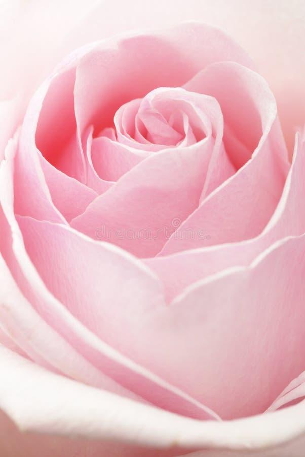 Pink Rose. As symbol of Love stock image