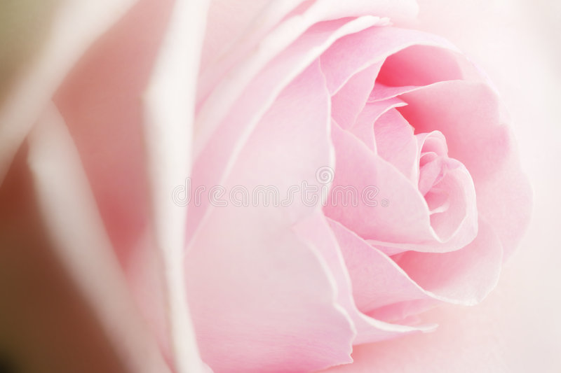 Pink Rose. As symbol of Love stock images