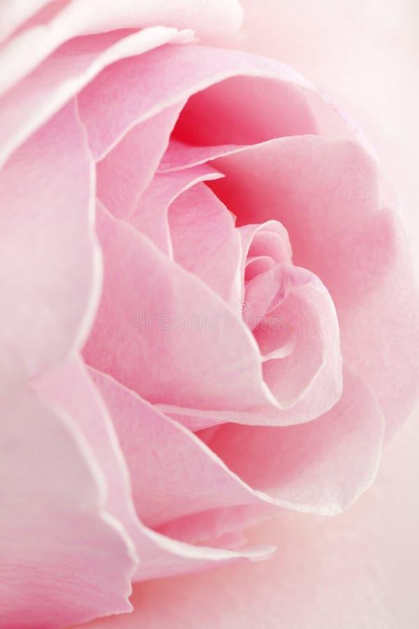 Pink Rose. As symbol of Love stock photo