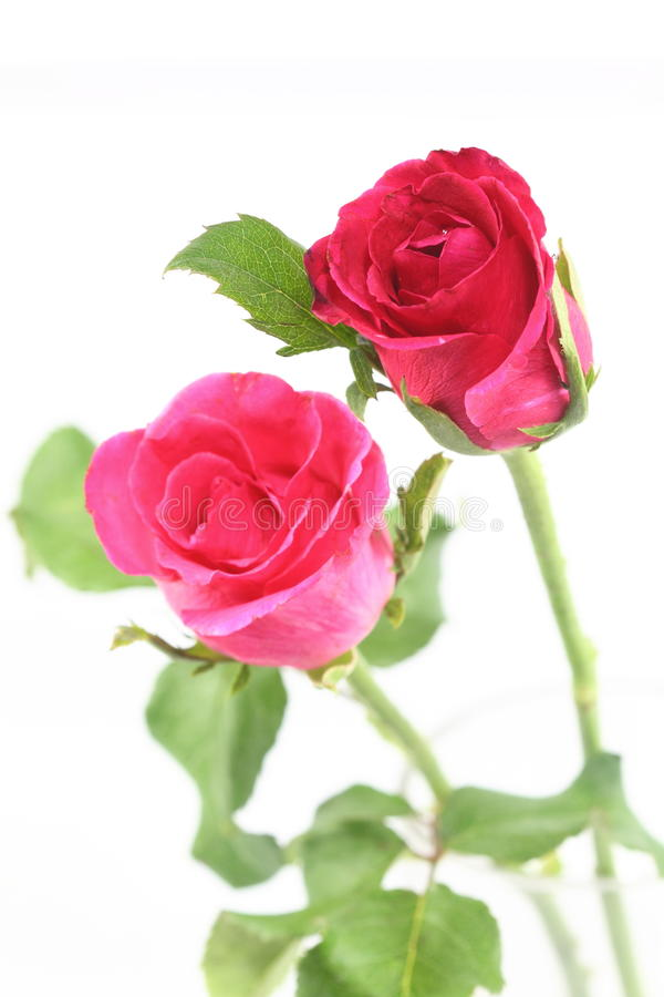 Free Pink Rose Stock Photo - 31814370