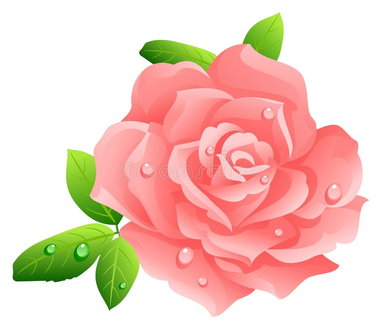 Pink rose. Isolated on white