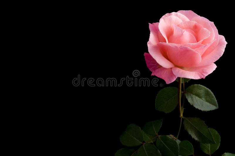 Pink rose. Beautiful single pink rose isolated on black background stock photos
