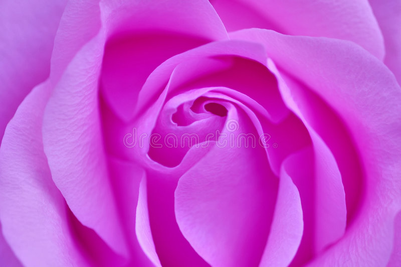 Pink Rose. Up-close personal view of a pink rose royalty free stock photos