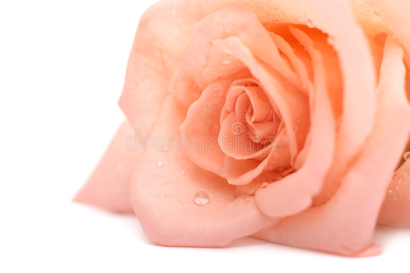 pink rose obraz royalty free