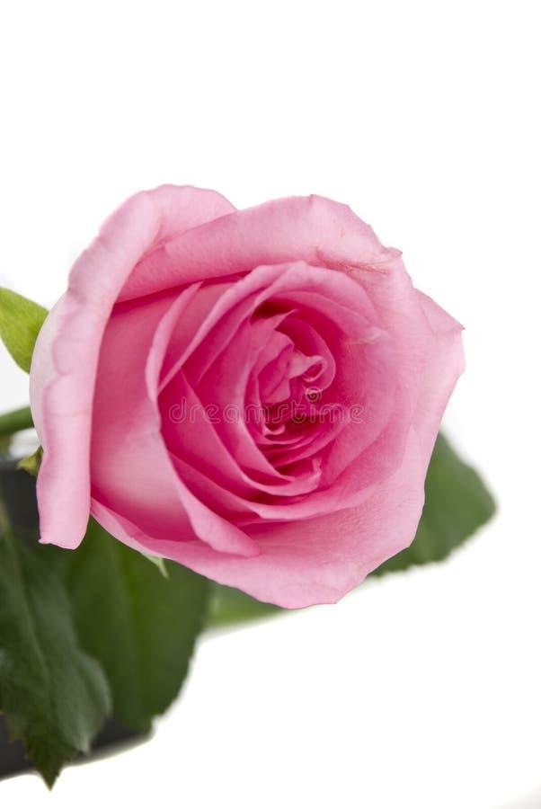 Pink rose royalty free stock photo