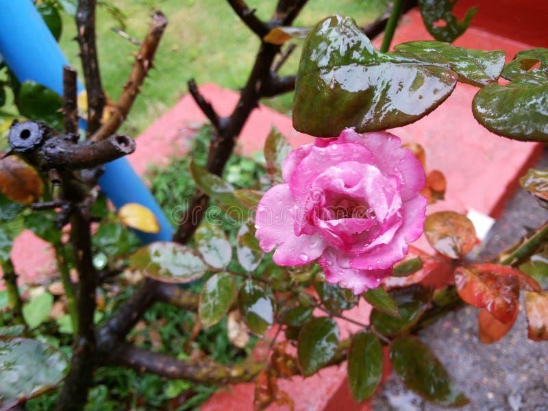 Download Pink rose fotografering för bildbyråer. Bild av steg - 78727165