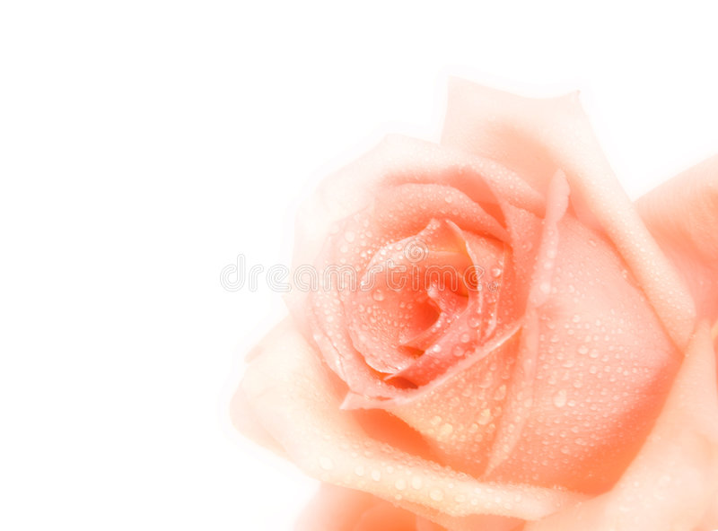Download Pink rose stock photo. Image of bridal, background, occasion - 8069982