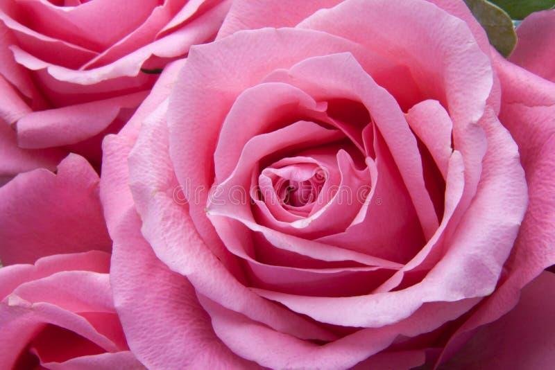 Pink Rose Free Public Domain Cc0 Image