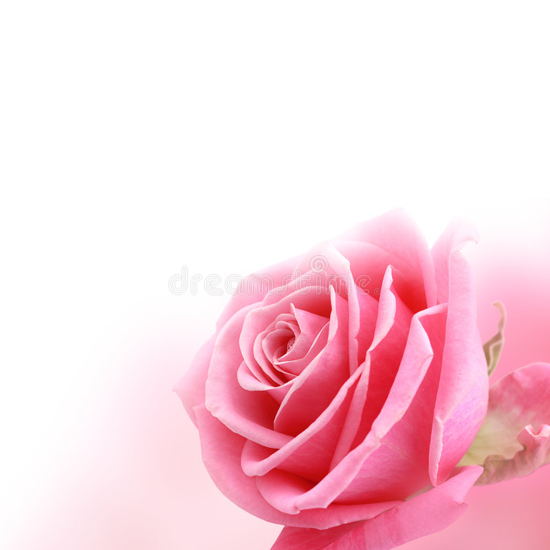 Free Pink Rose Stock Photography - 8648612
