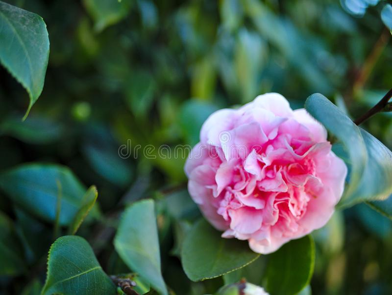 A pink rose against rich green leaves. stock photography