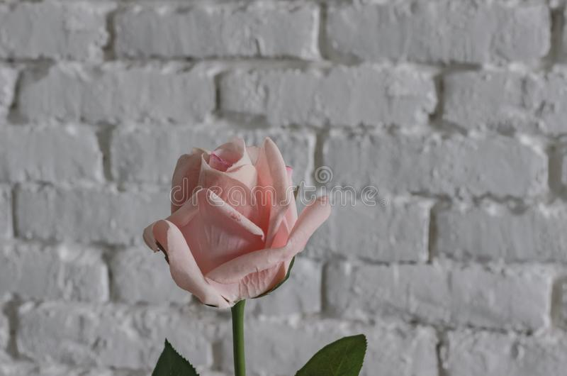 Pink rose against a white brick wall, a gift for St. Valentine`s Day royalty free stock image