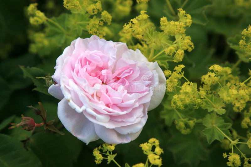 Pink rose and alchemilla. A beautiful pink rose between yellow Lady's mantle (alchemilla). Beautiful for postcards royalty free stock images