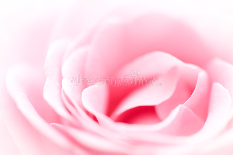 Pink Rose Background. A beautiful background of the closeup of pink rose petals royalty free stock photos