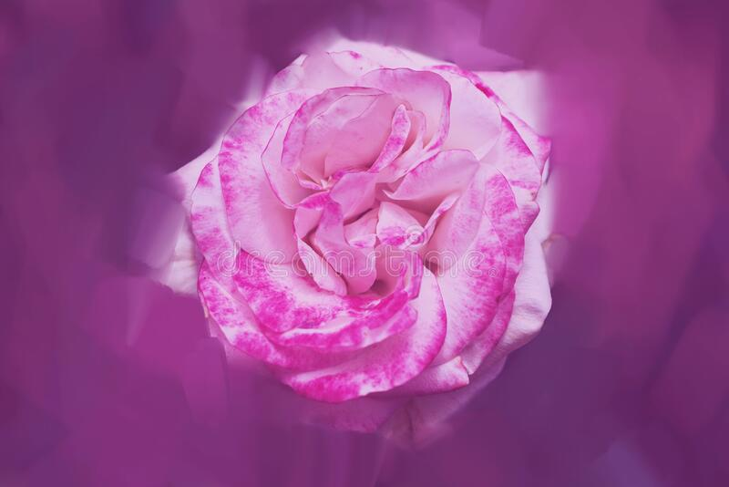 Pink rose background. Digital drawing, rose oil paint. Full frame, Space for text. background flower.  stock images