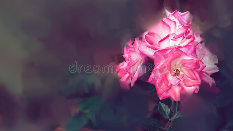 Pink rose background. Digital drawing, rose oil paint. Full frame, Space for text. background flower. Valentine royalty free stock photo