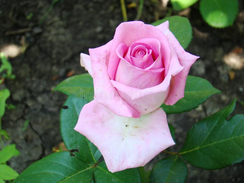 Pink rose on a background of green foliage. Photo of a pink stock image