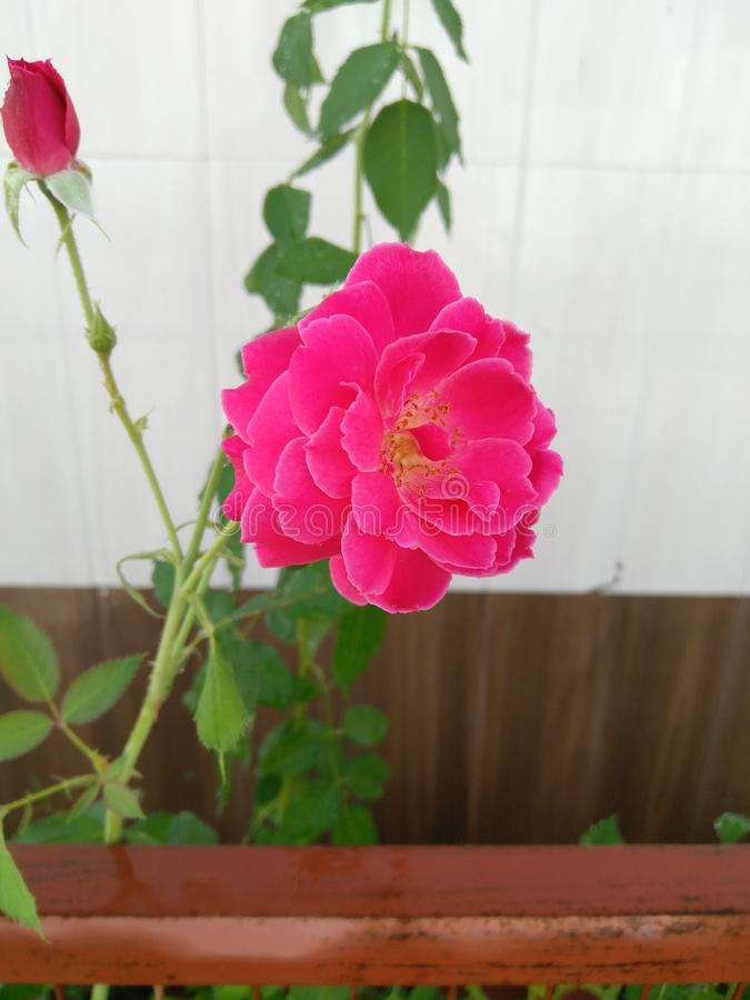 Pink Rose-02 royalty free stock images