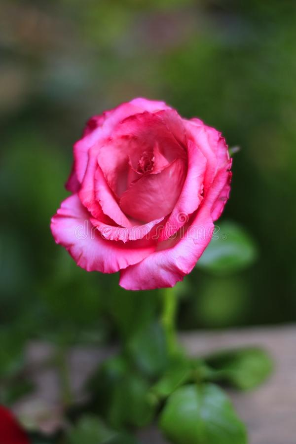 Pink rose on a beautiful blurred background.  royalty free stock image