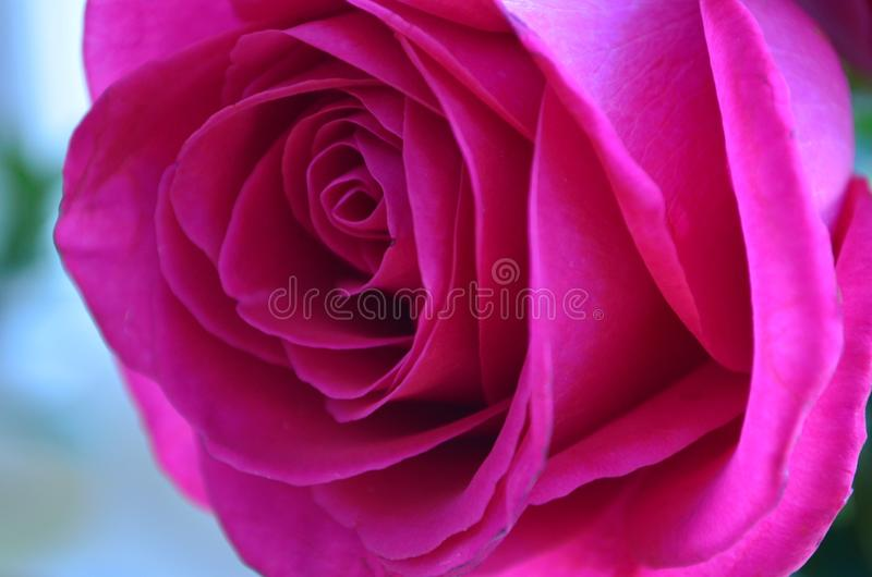 Pink rose stock photography
