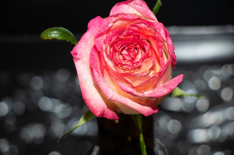 Pink rose on black background royalty free stock image