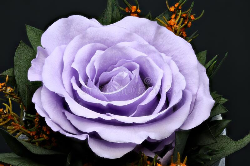 Pink rose on black background. macro photography.  stock images