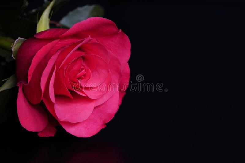 Pink rose on black background with side warm light. pink flower in artificial light, black background, rose petals.  royalty free stock photos