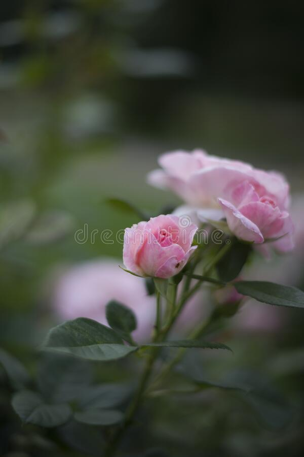 Pink rose blooms in the garden. Flowersin summer. Pink rose blooms in the garden royalty free stock photography