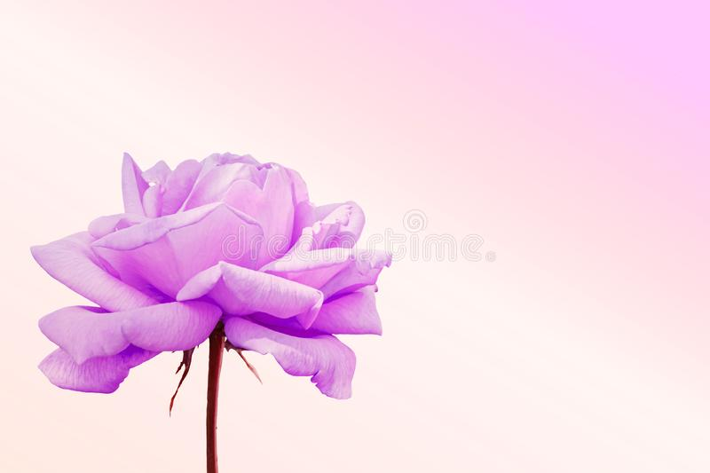 Pink rose blossoming on a pink background. Rose blossoming on a pink background stock photo