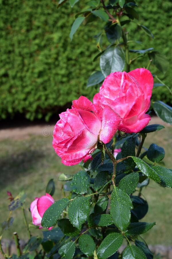 Pink Rose Blossoms with Water Drops on the Petals. Beautiful Garden royalty free stock photos