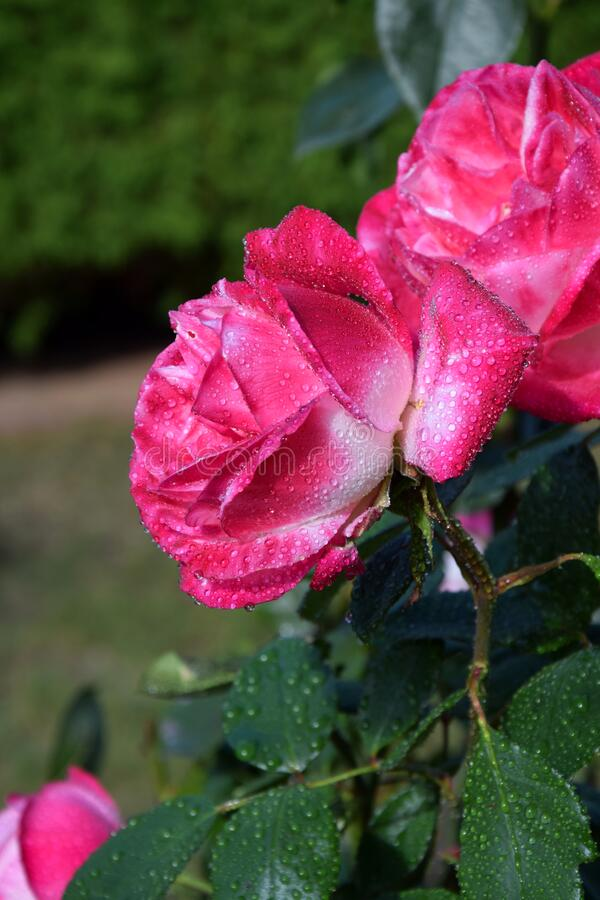Pink Rose Blossoms with Water Drops on the Petals. Beautiful Garden stock photography