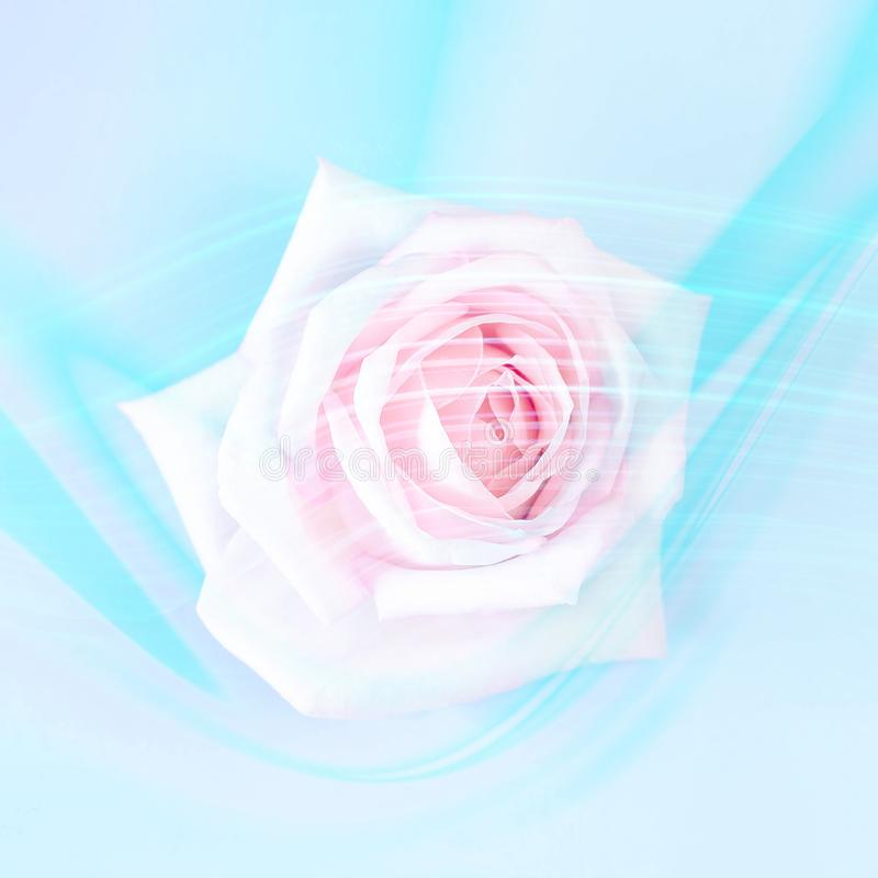 Pink rose on a blue background with trendy neon lines. royalty free stock photo