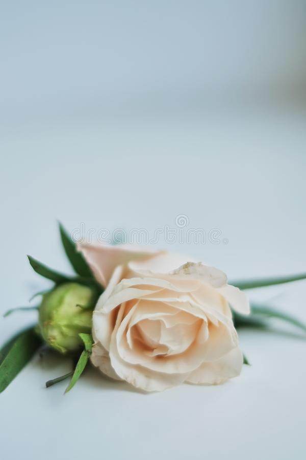 pink rose boutonniere on a white background stock photos
