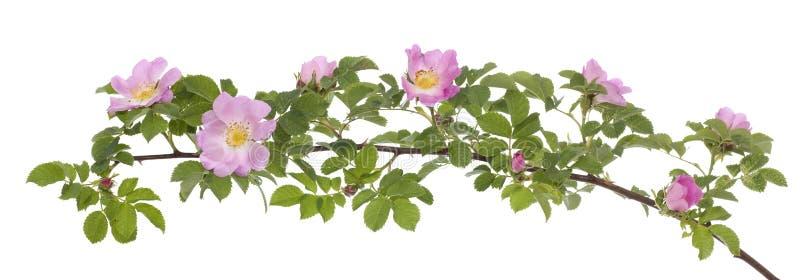 Download Pink Rose Stock Photo - Image: 31394460