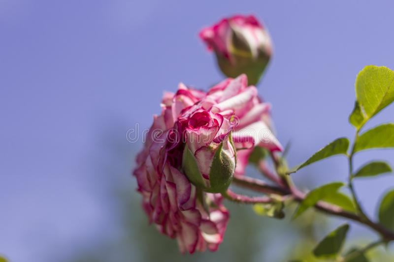 Pink rose with a Bud against the blue sky stock images