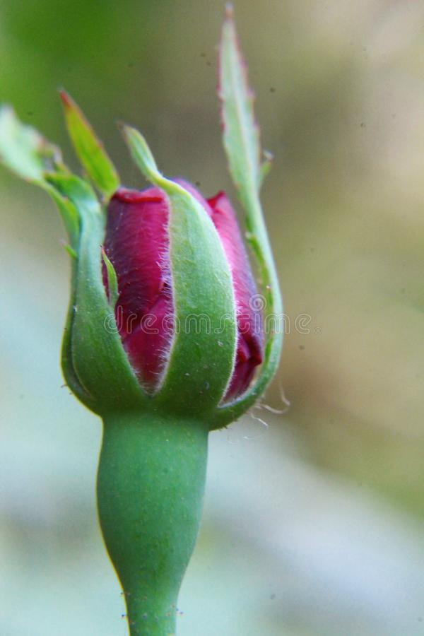 Pink rose bud blossom blooming on the garden royalty free stock photography