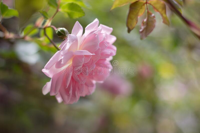 Pink rose bud on bush royalty free stock photos