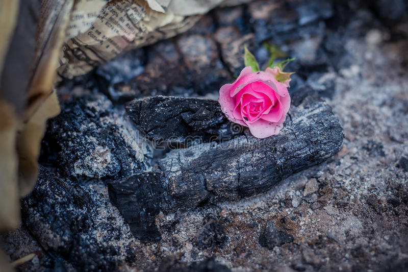 Pink rose bud on a charred coals. Rose bud on a charred coals royalty free stock image