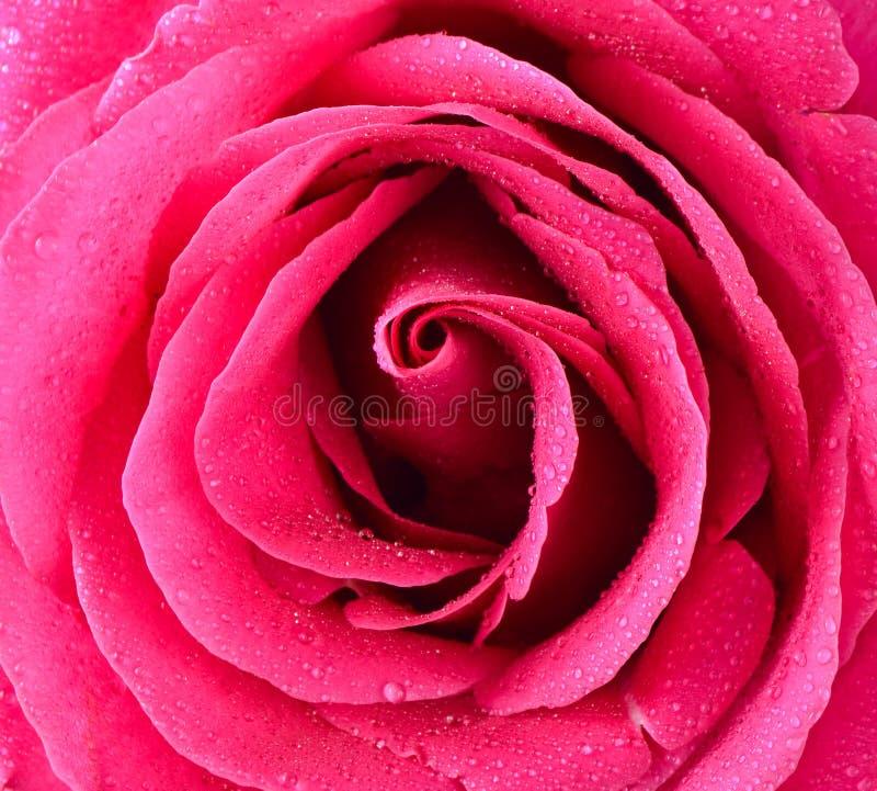 Pink rose bud close-up. Rose petals stock photography