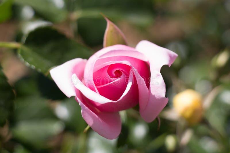 Pink rose bud close up. Top view stock photos