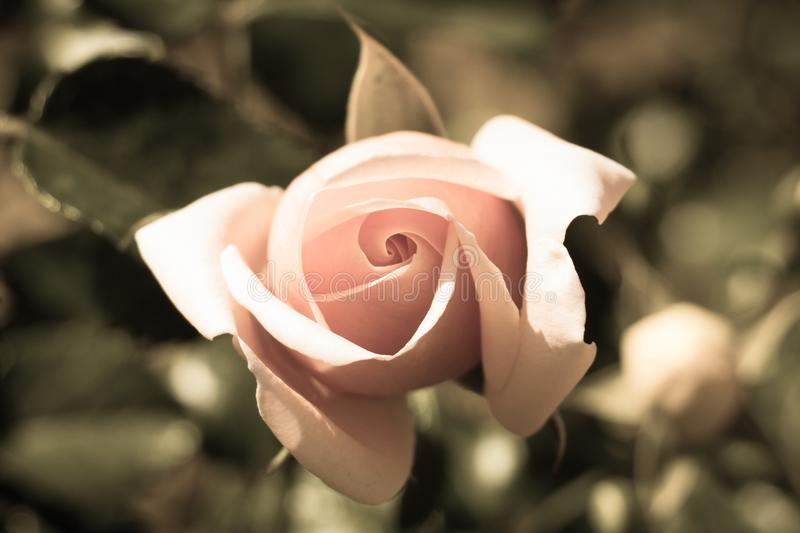 Pink rose bud close up. Top view royalty free stock images